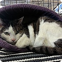 Domestic Shorthair Cat for adoption in Gilbert, Arizona - Twinkles