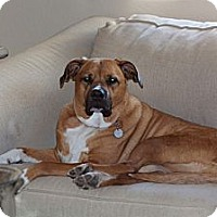 Boxer Mix Dog for adoption in Gilbert, Arizona - Knute