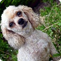 Adopt A Pet :: Dan - Bridgeton, MO