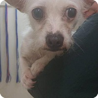Westie, West Highland White Terrier/Chihuahua Mix Dog for adoption in Fullerton, California - JoJo