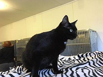 Domestic Shorthair Cat for adoption in Bourbonnais, Illinois - Juniper