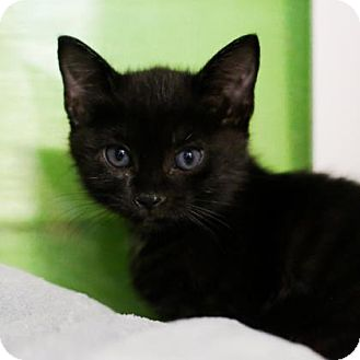Domestic Shorthair Kitten for adoption in Austin, Texas - Pikachu