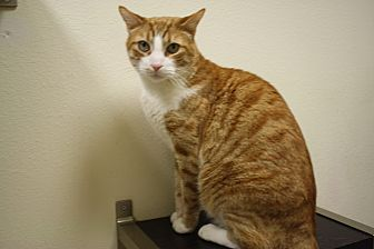 Domestic Shorthair Cat for adoption in North Hollywood, California - Gabriel