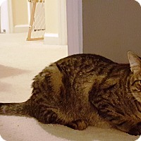 Domestic Shorthair Cat for adoption in Sneads Ferry, North Carolina - Nutmeg