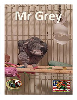African Grey for adoption in Vancouver, Washington - Special Needs African Grey .