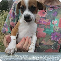 Chihuahua/Dachshund Mix Puppy for adoption in Rutherfordton, North Carolina - STUART