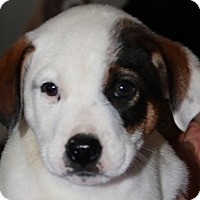Adopt A Pet :: Spice Pup Caraway - Silver Spring, MD