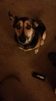 Shepherd (Unknown Type)/Border Collie Mix Dog for adoption in San Antonio, Texas - Charlie