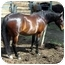Photo 2 - Standardbred for adoption in Washington, Connecticut - Bow