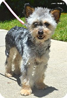 Schnauzer (Miniature)/Yorkie, Yorkshire Terrier Mix Dog for adoption in Los Angeles, California - Talula