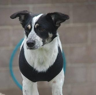 Border Collie Mix Dog for adoption in Dallas, Texas - Howdy