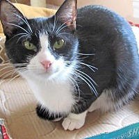 Domestic Shorthair Cat for adoption in Devon, Pennsylvania - Dolby