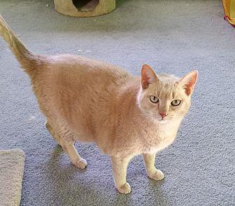 Domestic Mediumhair Cat for adoption in Carlisle, Pennsylvania - Leonidas