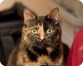 Domestic Shorthair Cat for adoption in Fountain Hills, Arizona - Rory
