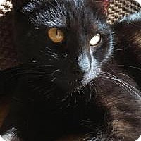Adopt A Pet :: Meatball Morpheus - Santa Cruz, CA