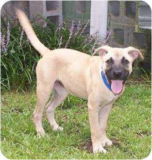 Shepherd (Unknown Type) Mix Puppy for adoption in Little River, South Carolina - Sandi