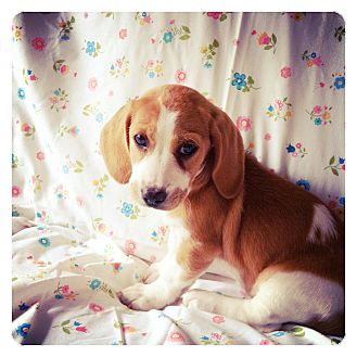 Basset Hound/Beagle Mix Puppy for adoption in Louisville, Kentucky - Jewel