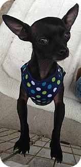 Chihuahua Mix Dog for adoption in San Diego, California - Noche