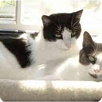 Adopt A Pet :: Oscar/Little Gray - Bedford, MA
