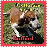 Adopt A Pet :: Bufford - Williston, FL