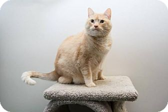 Domestic Shorthair Cat for adoption in Frankenmuth, Michigan - Peaches