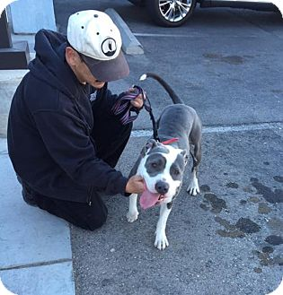American Pit Bull Terrier Mix Dog for adoption in Las Vegas, Nevada - Nina
