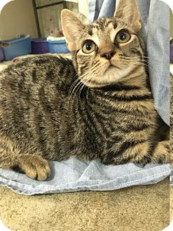 Domestic Shorthair Cat for adoption in Manteo, North Carolina - Blush