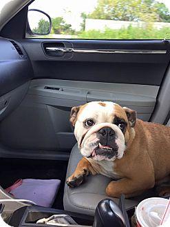 English Bulldog Dog for adoption in Columbus, Ohio - Charli