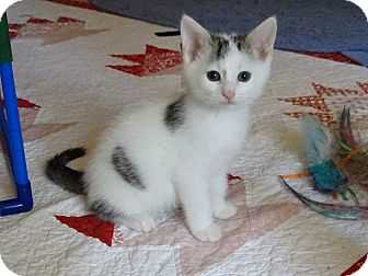 Turkish Van Kitten for adoption in Taylor Mill, Kentucky - Labatts-The Charmer born mid A