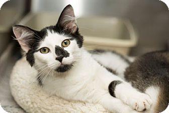 Domestic Shorthair Kitten for adoption in Lombard, Illinois - Sam Winchester