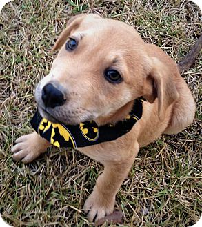 Labrador Retriever/Retriever (Unknown Type) Mix Puppy for adoption in Saratoga Springs, New York - Marco ~ ADOPTED!