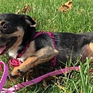Adopt A Pet :: Brownie - great on a leash!