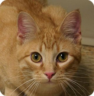 Domestic Shorthair Kitten for adoption in Hastings, Nebraska - Chad