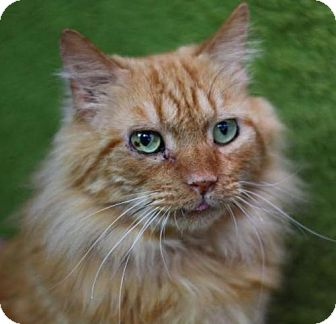 Maine Coon Cat for adoption in Raleigh, North Carolina - Brando K