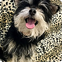 Adopt A Pet :: Bonkers - Las Vegas, NV