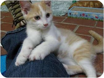 Domestic Shorthair Kitten for adoption in Centerburg, Ohio - Joe