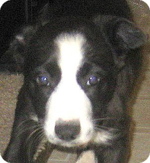 Border Collie/Australian Shepherd Mix Puppy for adoption in Oakley, California - Baby Brynne