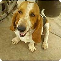 Adopt A Pet :: Beau - Acton, CA