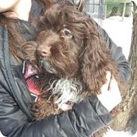 Adopt A Pet :: Cocoa - Antioch, IL