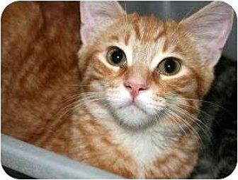 Domestic Shorthair Cat for adoption in Canoga Park, California - Gatsby