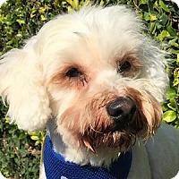 Adopt A Pet :: Tommy - La Costa, CA