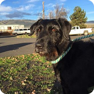 Airedale Terrier/Hound (Unknown Type) Mix Dog for adoption in The Dalles, Oregon - Kali