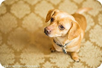 Chihuahua Mix Dog for adoption in Seattle, Washington - Chewey
