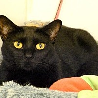 Domestic Shorthair Cat for adoption in Westville, Indiana - Satina