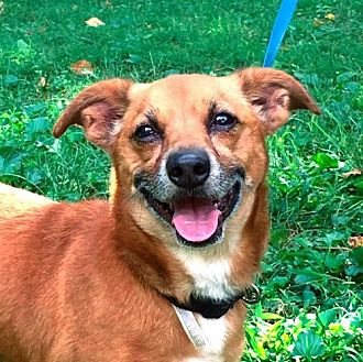 Chihuahua Mix Dog for adoption in Ridgefield, Connecticut - Benji