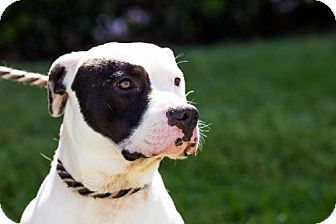 American Staffordshire Terrier Dog for adoption in San Diego, California - Cowboy