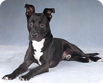 Labrador Retriever/Pit Bull Terrier Mix Dog for adoption in Chicago, Illinois - Thunder
