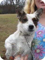 Jack Russell Terrier Mix Dog for adoption in Richmond, Virginia - Lola