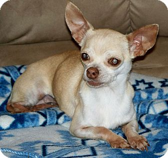 Chihuahua Dog for adoption in AUSTIN, Texas - MINDY
