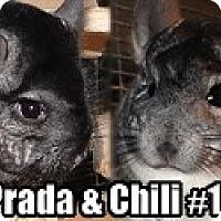 Adopt A Pet :: Prada & Chili#10 - Virginia Beach, VA